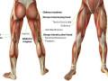 leg-muscles