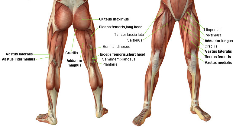 the thigh's the limit | fitengine, Muscles