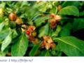 Ashwaghanda plant